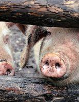 O nouă alertă de pestă porcină în județul Botoșani