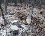 Tăieri ilegale de arbori, constatate de jandarmi