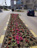 Peste 300.000 de răsaduri de flori vor fi plantate în municipiul Suceava