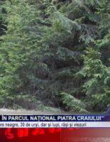 Dansul ursului, în Parcul Național Piatra Craiului