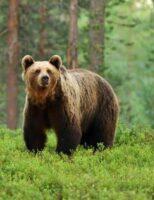 Un urs s-a plimbat pe străzile din Pojorâta, sărind și în curțile oamenilor