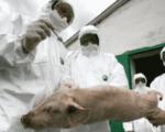 Un focar de pestă porcină depistat la Fălticeni de DSVSA Suceava